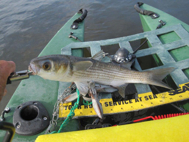 mullet-caught-in-my-kayak