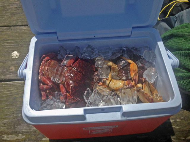 cooler-filled-with-crabs-on-ice-from-crabbing-trip-oakland-bay-california