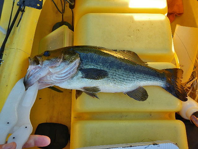 17-inch-4-lbs-largemouth-bass (2)