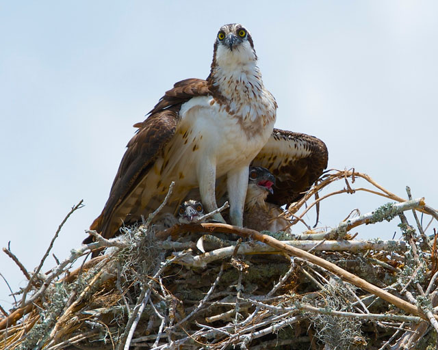 Osprey-female-on-a-nest-with-two-hatchlings