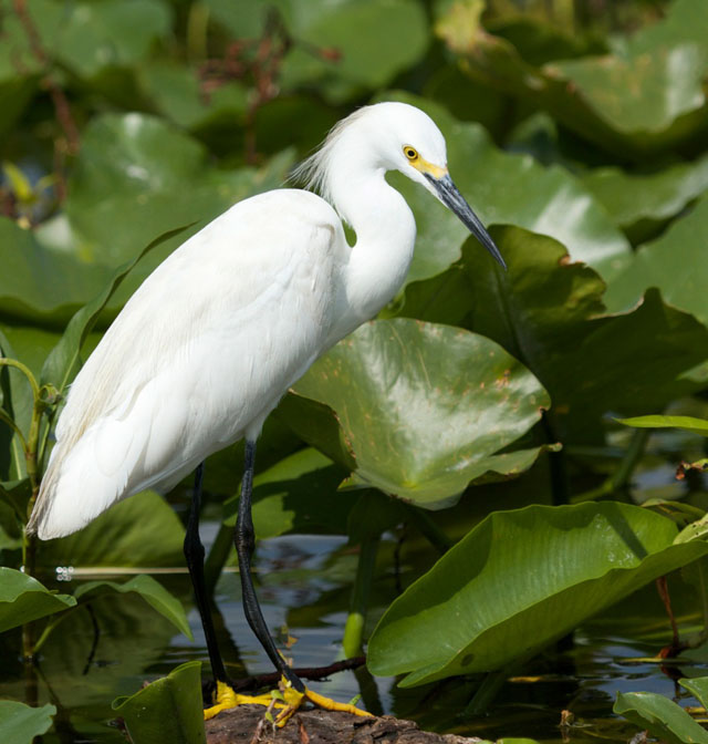 Snowy Egret on Lily Pads