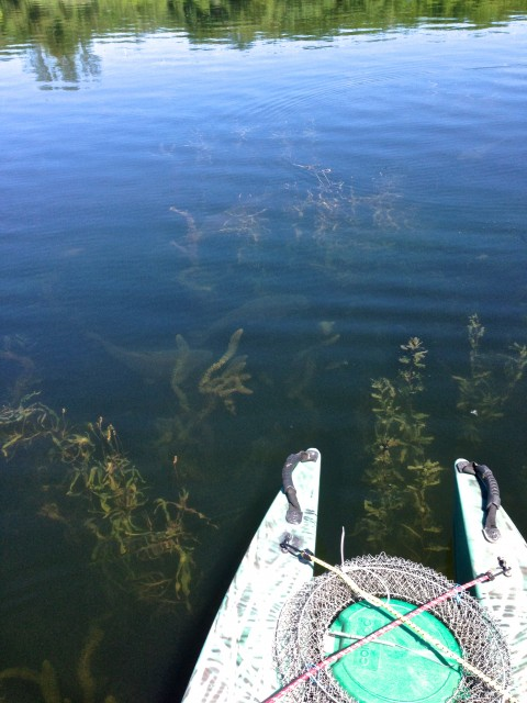 carp-swimming-in-the-shallow-water-under-my-kayak