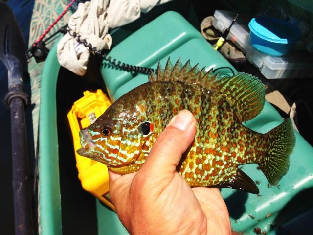 longear-sunfish-caught-in-my-kayak (2)