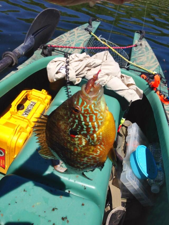 longear-sunfish-caught-in-my-kayak