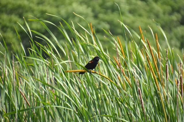 red-wing-blackbird