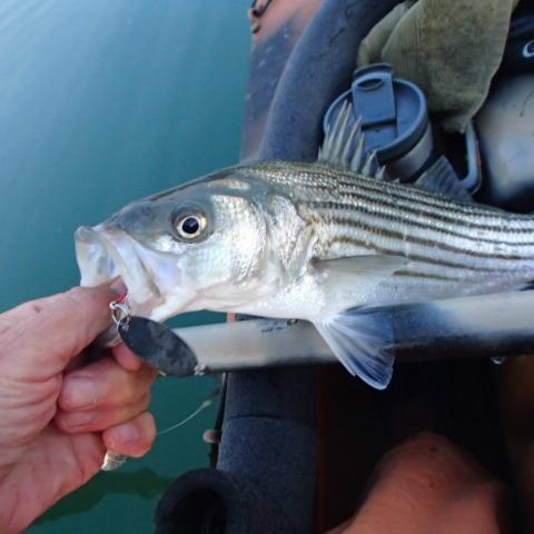 small striper Massachusetts 2014