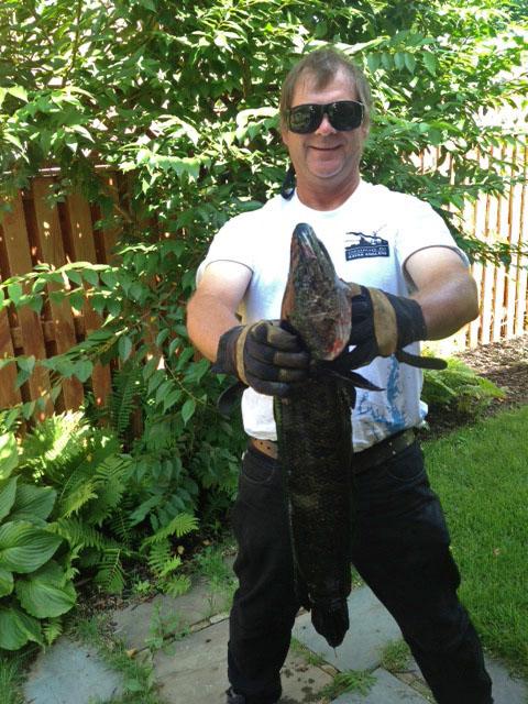 7-31-inch-12-lbs-snakehead-fish