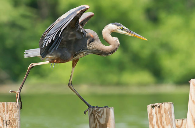 Great Blue Heron Dancing on Poles