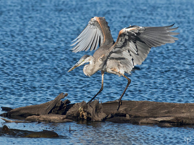 Great Blue Heron on a log fishing