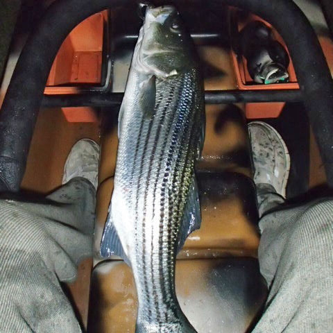 "26"" striper in my kayak - night fishing, Massachusetts"