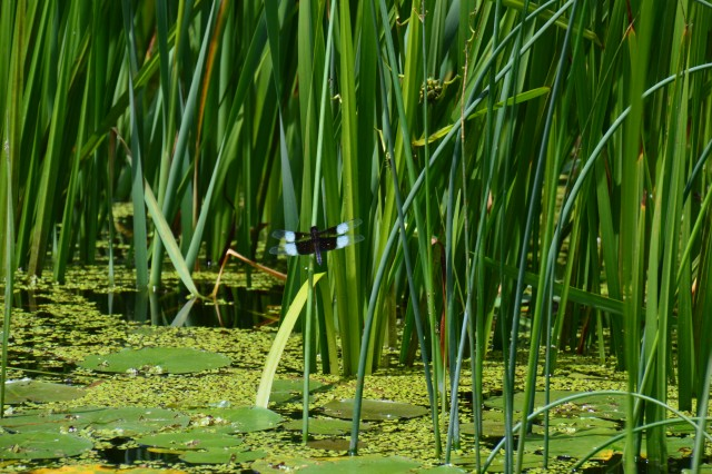 dragonfly-hovering-on-the-water
