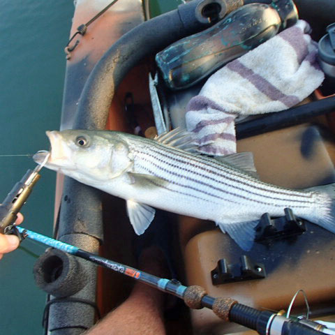 Striper in kayak