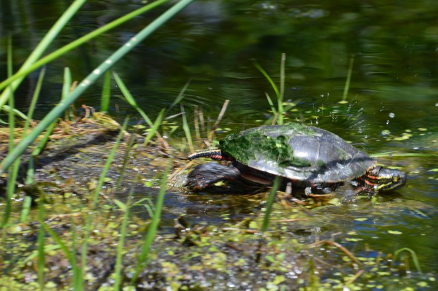 turtle-taking-a-dip-in-the-river