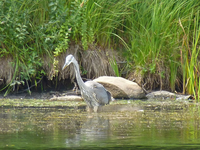 Heron-female-PA-lake