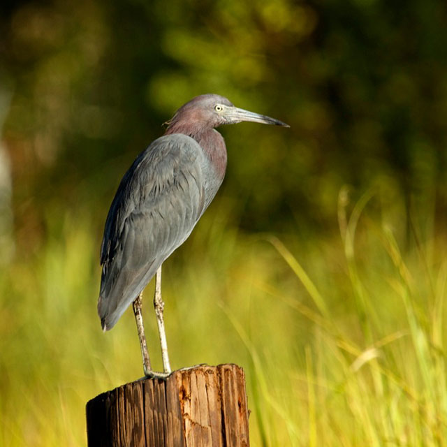 Tricolored-heron-fishing
