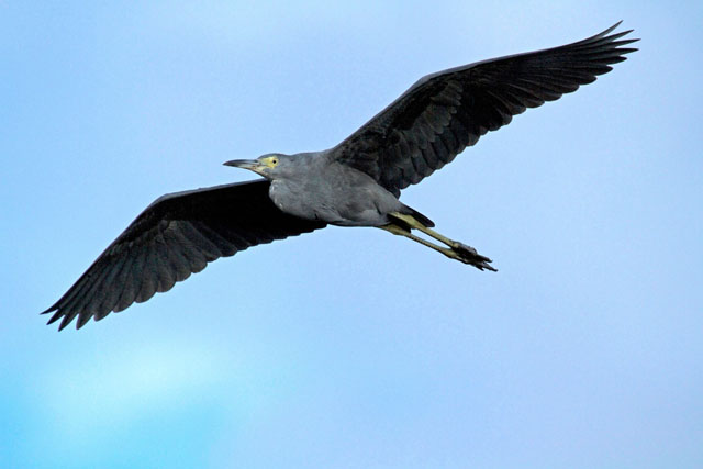 blue-heron-flying