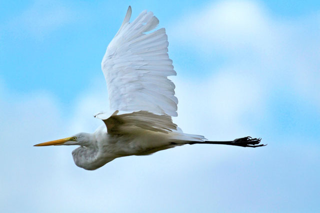 egret-flying