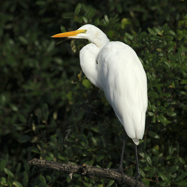 great-egret-broward-river-fl-08-2014