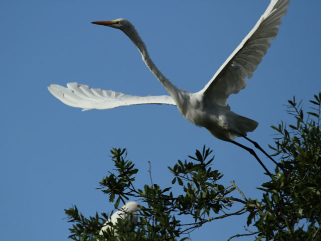 great-white-egret-spreading-wings