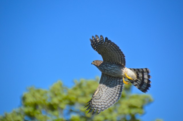 hawk-flying-above-the-river