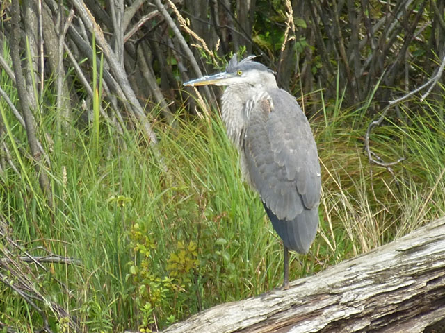 heron-male-PA-lake