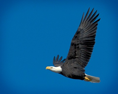 Eagle soars past the Wavewalk