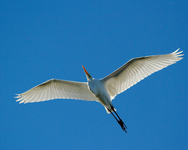 Great Egret soars overhead