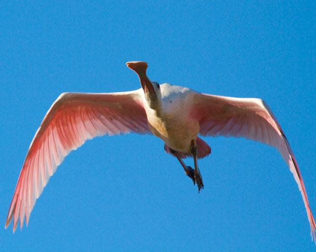 Roseate Spoonbill overflight