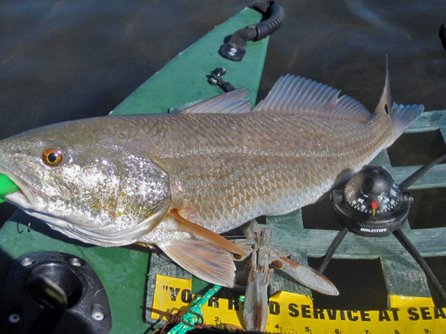 another-big-redfish