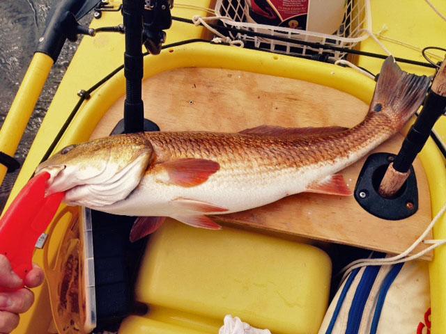 big-redfish-for-dinner