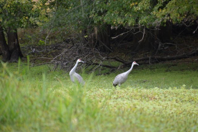 two herons looking for fish