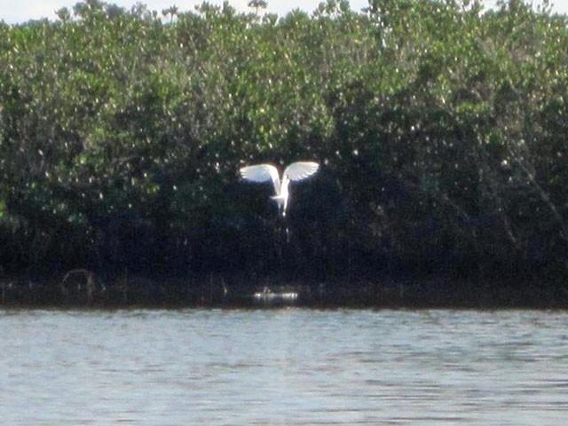 egret-fishing-2