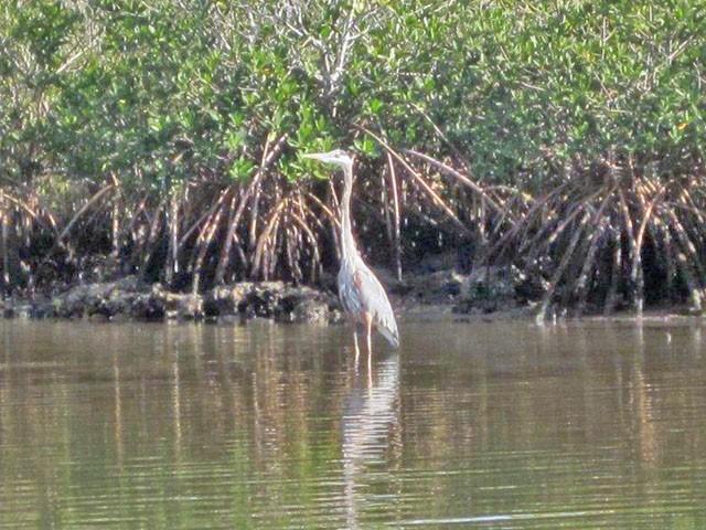 tricolor-heron-fishing-2