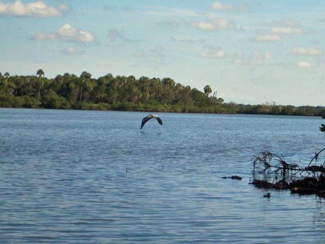tricolor-heron-fishing
