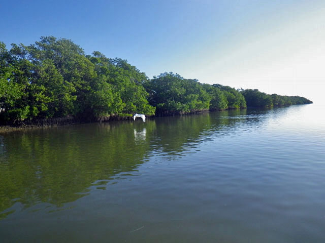 white-egret-flying-close-to-the-mangroves