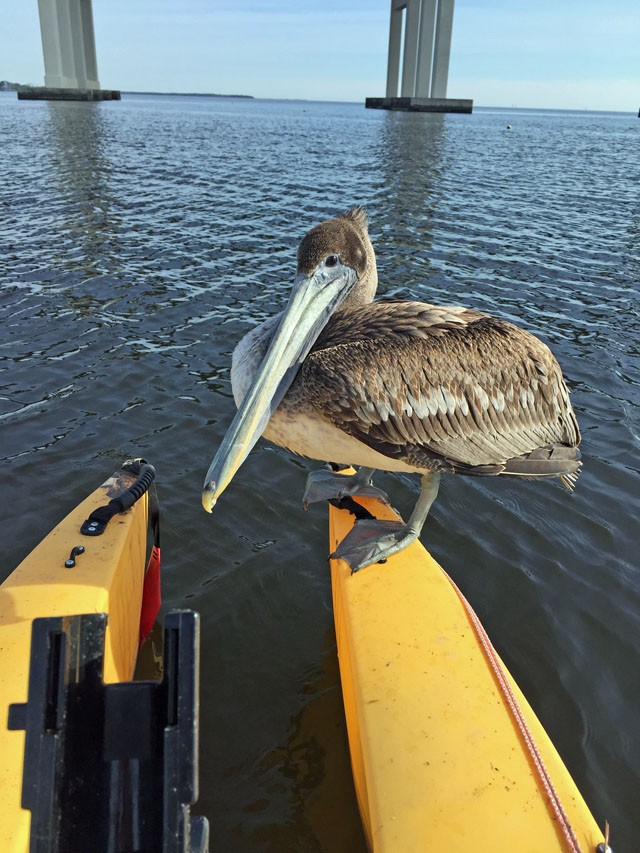 Pelican-perched-on-fishing-kayak-MS