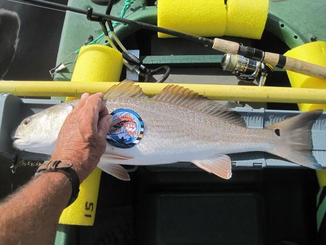24 inch redfish