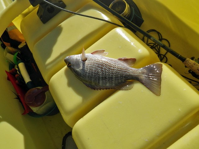 small-snapper