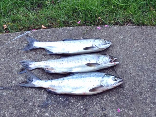 3-pink-salmon-08-2015
