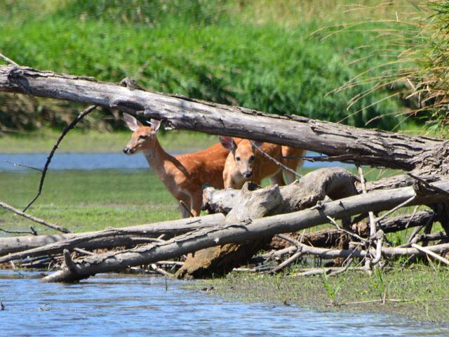 deer-Fox-river-August-2015