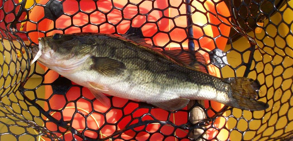 largemouth-bass-NC-11-2015
