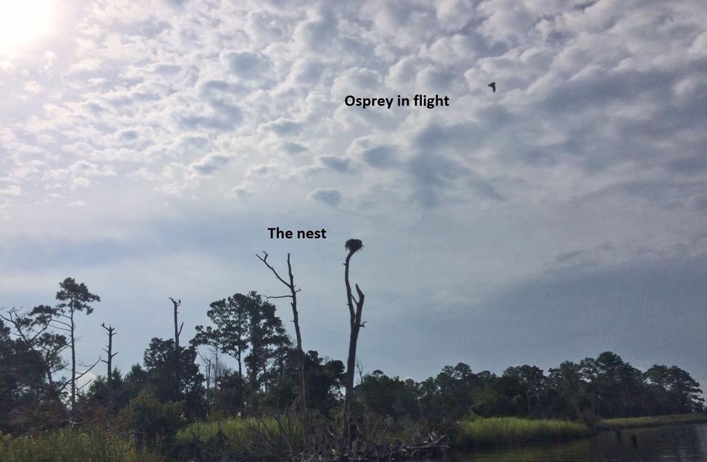 Osprey in flight NW Creek (2)
