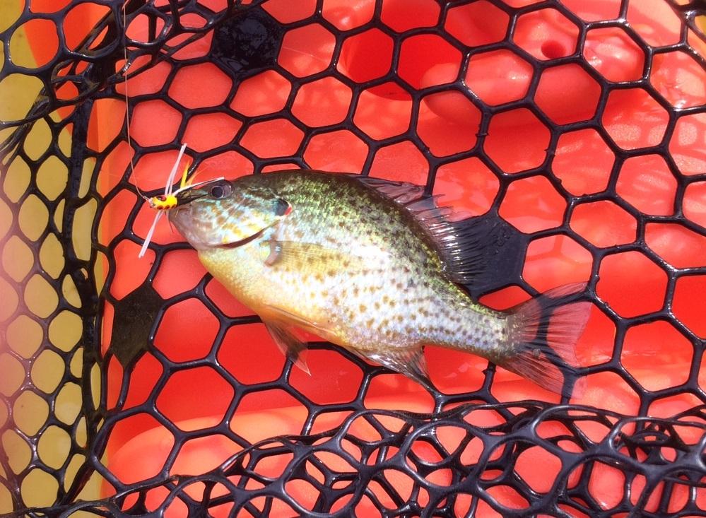 little sunfish NW Creek
