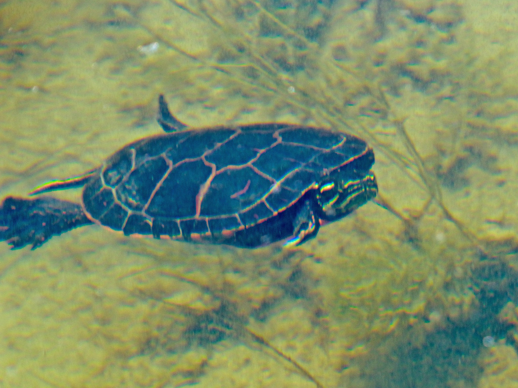 turtle-in-the-water
