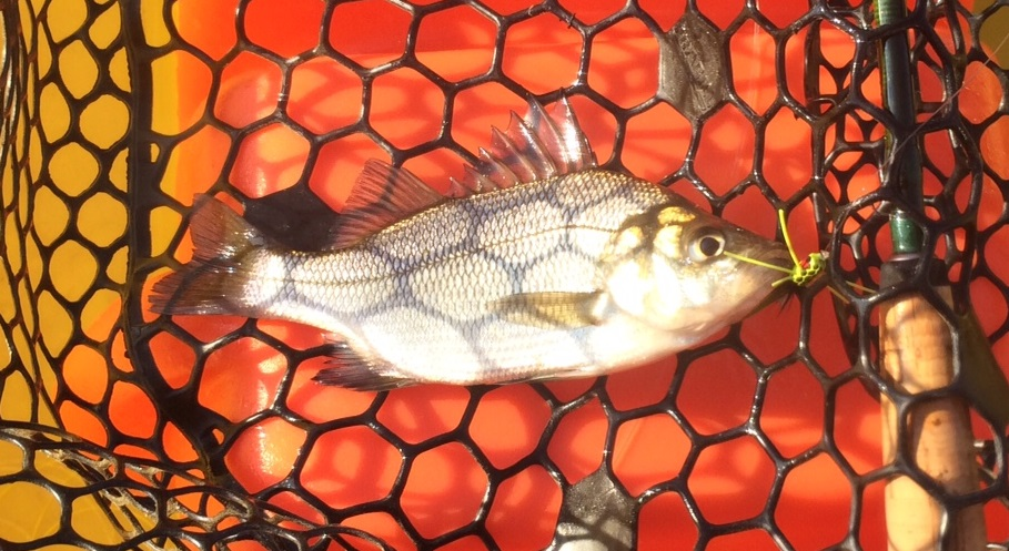 white perch NW Creek