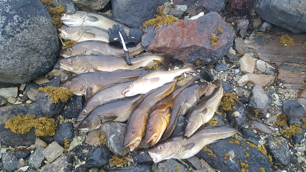 a-lot-of-cod-caught-in-the-fjord