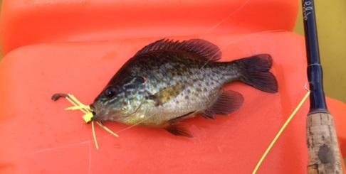 pumkinseed-fish (1)