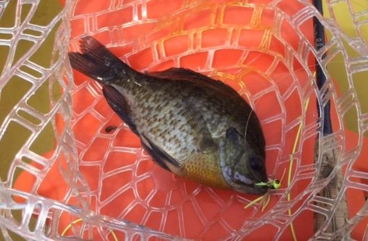 pumkinseed-fish (2)