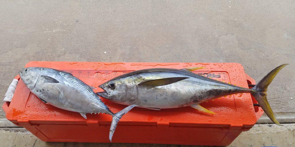 Tuna and Bonita