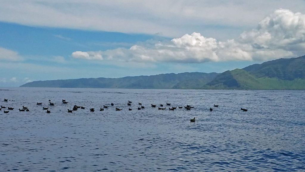 aquatic birds offshore